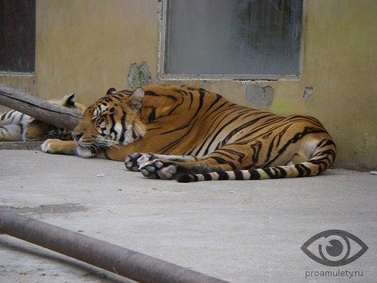 spjashhij-tigr-zoopark