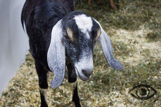 nubijskaja-koza