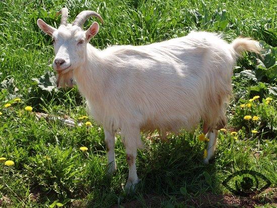koza-v-ogorode