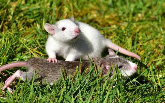 dve-krysy-lezhat-v-trave-belaja-seraja