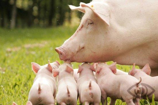 svinomatka-porosjata-svinja-trava
