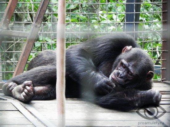 shimpanze-spit-v-volere-kletke