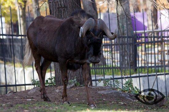 belohvostyj-gnu-v-zooparke